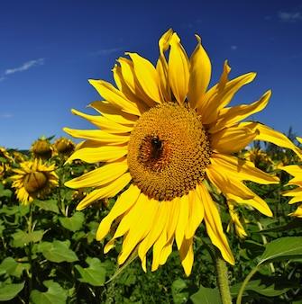 Słoneczniki kwiatowe. kwitnący w gospodarstwie rolnym - pole z niebieskim niebem. piękne naturalne kolorowe tło.