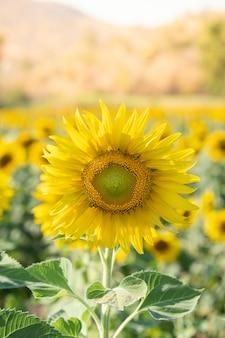 Słoneczniki kwitną w polu przy jesienią.