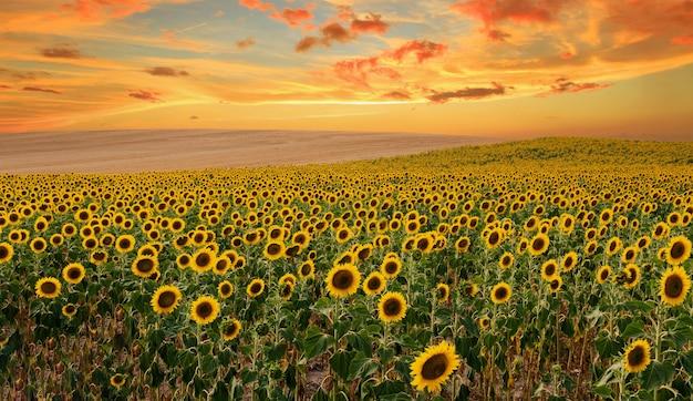 Słoneczniki kwitnące w polu, panorama krajobrazu. o zachodzie słońca piękne tereny uprawne i wycieczki w teren dla rolnictwa ekologicznego.