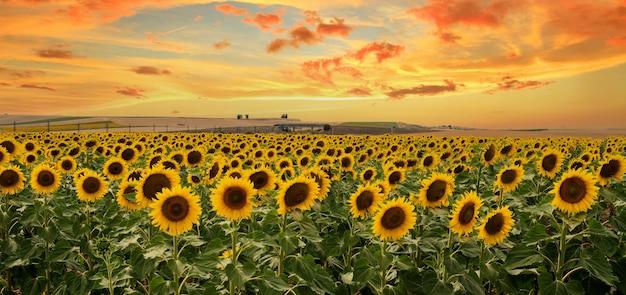 Słoneczniki Kwitnące W Polu, Panorama Krajobrazu. O Zachodzie Słońca Piękne Tereny Uprawne I Wycieczki W Teren Dla Rolnictwa Ekologicznego. Premium Zdjęcia