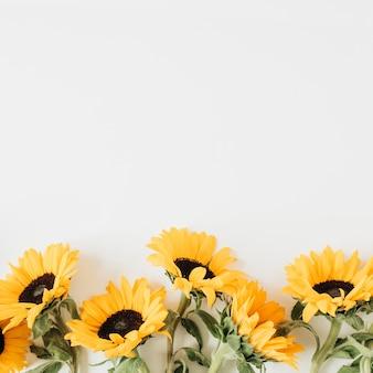 Słoneczniki na białym tle