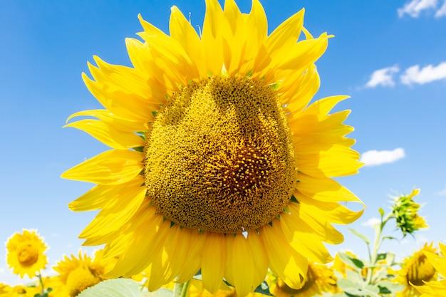 Słoneczniki na niebieskiego nieba rolnictwie uprawia ziemię wiejskiego gospodarki agronomii pojęcie