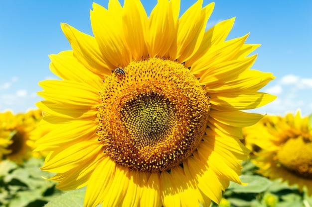Słoneczniki na niebieskiego nieba tła rolnictwie uprawia ziemię wiejskiego gospodarki agronomii pojęcie