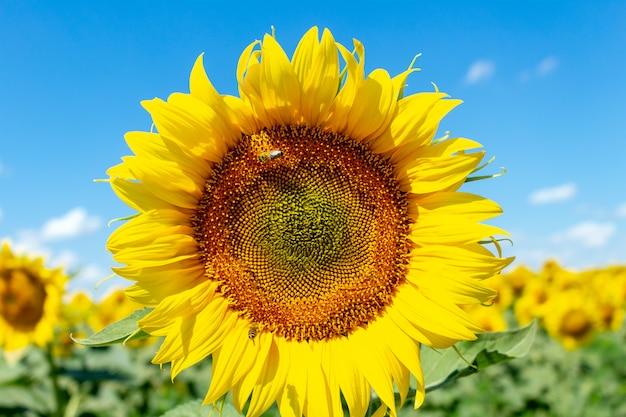 Słoneczniki na niebieskiego nieba tle. koncepcja agronomii rolnictwa rolnictwa.