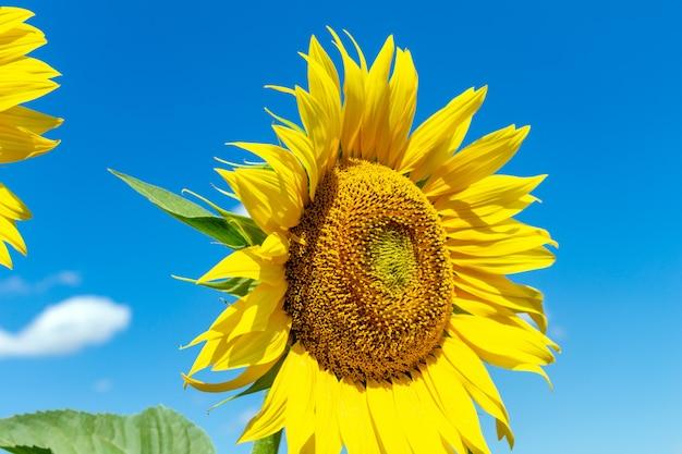Słoneczniki na niebieskiego nieba tle. rolnictwo rolnictwo koncepcja agronomia gospodarki.
