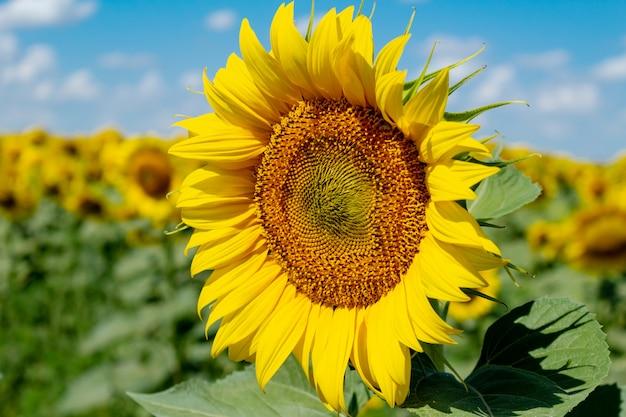 Słoneczniki na niebieskiego nieba tle. rolnictwo rolnictwo koncepcja gospodarki wiejskiej agronomia.