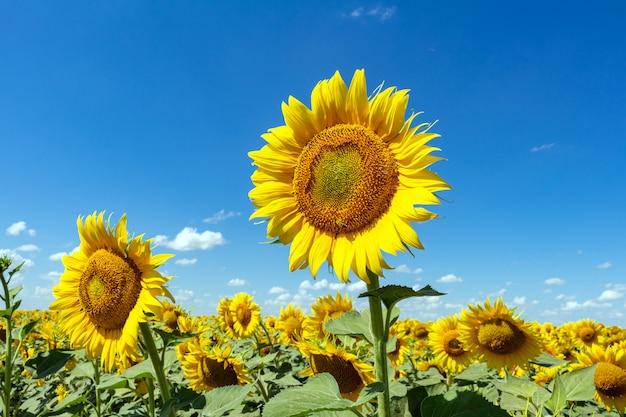 Słoneczniki na niebieskiego nieba zakończeniu up