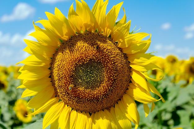Słoneczniki na niebieskim niebie. koncepcja gospodarki rolnej rolnictwa