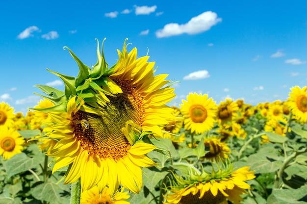 Słoneczniki na niebieskim niebie. rolnictwo rolnictwo koncepcja agronomia gospodarki.