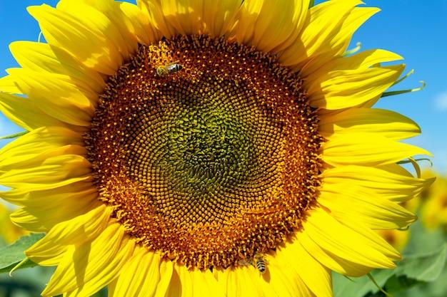 Słoneczniki na niebieskim niebie. rolnictwo rolnictwo koncepcja gospodarki wiejskiej agronomia