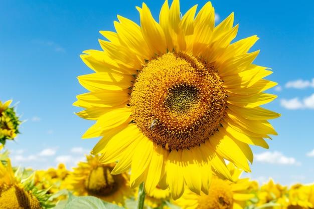 Słoneczniki na niebieskim niebie