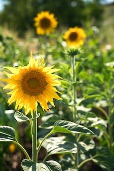 Słoneczniki na zielonym tle w słońcu.
