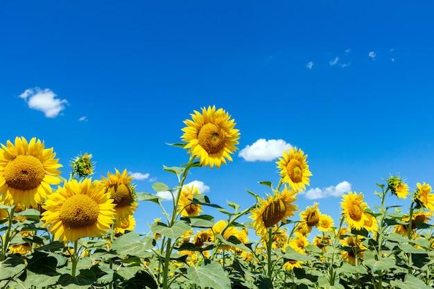 Słoneczniki odpowiadają na niebieskiego nieba tle. rolnictwo rolnictwo koncepcja gospodarki wiejskiej agronomia.