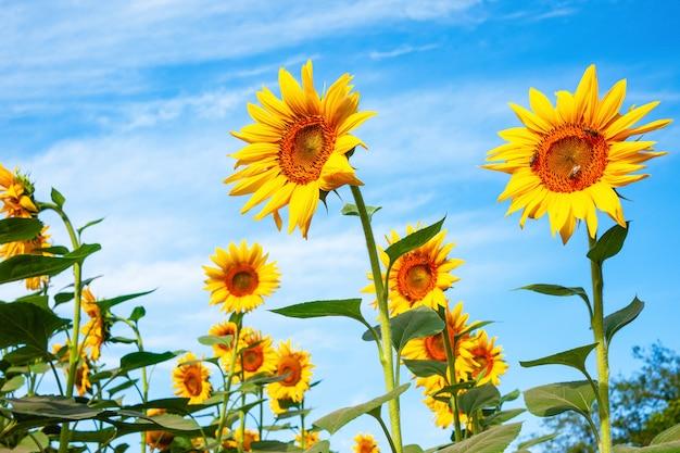 Słoneczniki przeciw niebieskiemu niebu