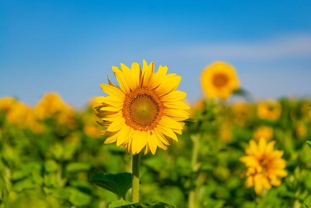 Słoneczniki rosną w polu latem na niebieskim niebie. zbliżenie