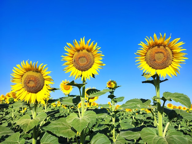 Słoneczniki rosnące kwitnące na polu w letni dzień. tło natury