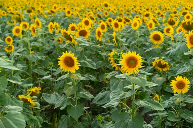 Słoneczniki rosnące w polu