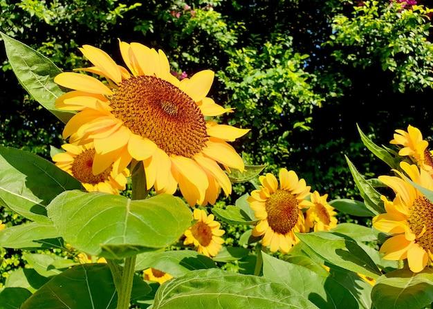 Słoneczniki w ogrodzie helianthus