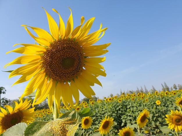 Słoneczniki w ogrodzie na tle błękitnego nieba