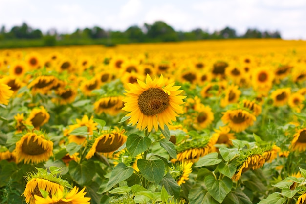 Słoneczniki w polu słoneczników