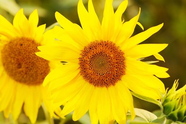 Słoneczniki z bliska
