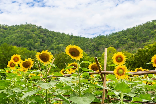 Słonecznikowe pole i tło słonecznika