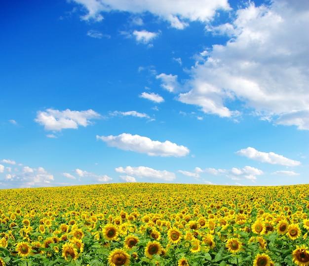 Słonecznikowe pole na zachmurzone błękitne niebo