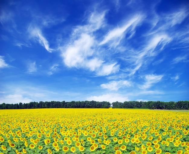 Słonecznikowe pole nad zachmurzonym błękitnym niebem