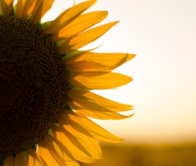 Słonecznikowe pole o zachodzie słońca. filtrowany efekt instagram.