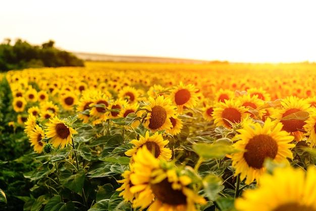 Słonecznikowe pole słoneczniki krajobraz kwiaty z farmy słoneczników