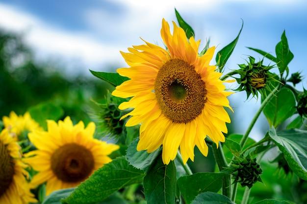 Słonecznikowe pole w kraju