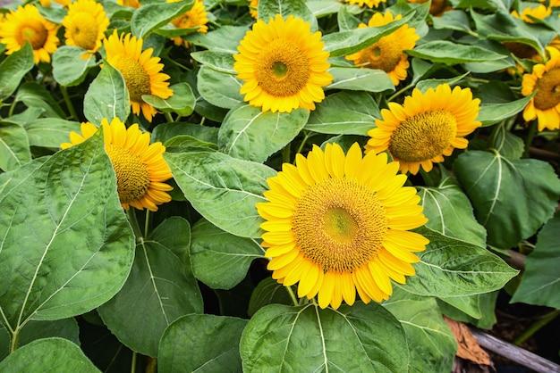 Słonecznikowe pole z pięknym