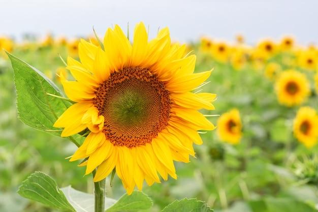 Słonecznikowe tło naturalne. kwitnący słonecznik. zbliżenie słonecznika.