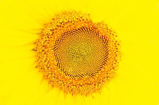 Słonecznikowe żółte tło