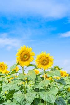 Słonecznikowy kwitnienie w polu