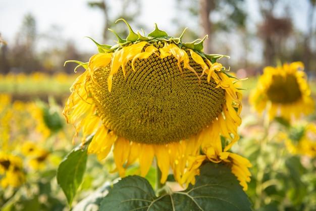 Słonecznikowy naturalny tło. ścieśniać