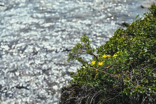 Słoneczny charakter tła z małych żółtych kwiatów pięciornika na brzegu w pobliżu jasnego lazurowego górskiego jeziora w słońcu w bokeh. żółte małe kwiaty dasiphora fruticosa nad błyszczącym niebieskim górskim jeziorem