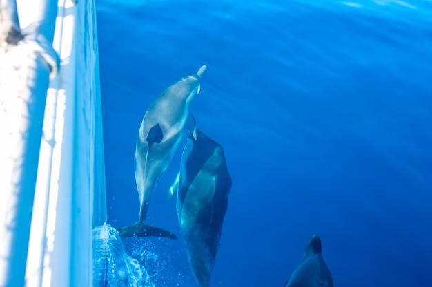 Słoneczny dzień. kilka delfinów pływa w pobliżu burty jachtu żaglowego