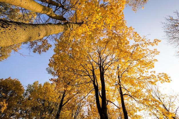 Słoneczny dzień, w którym słońce oświetla liście drzew w sezonie jesiennym, liście na drzewach zmieniły kolor na żółty.