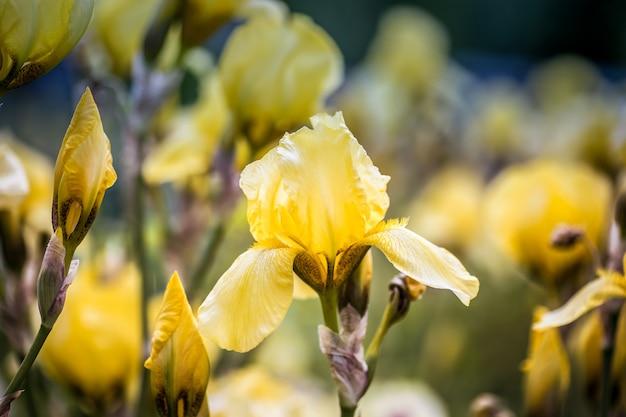 Słoneczny dzień w parku kwiat żółtej tęczówki na cienkiej łodydze