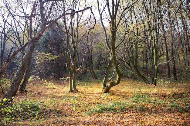 Słoneczny jesień krajobraz z opadłych suchych liści