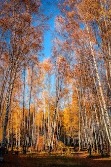 Słoneczny jesienny dzień w parku. żółte brzozy z niebieskim niebem w tle.
