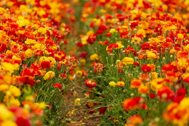 Słoneczny, piękny dzień na południu izraela. malownicze kibucowe pole kwitnących jaskrów ogrodowych. pojęcie turystyki aktywnej, ekologicznej i fotograficznej