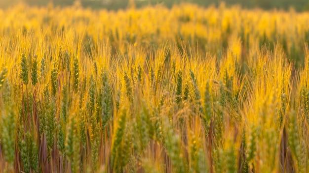 Słoneczny poranek pole pszenicy złotej, letni krajobraz.