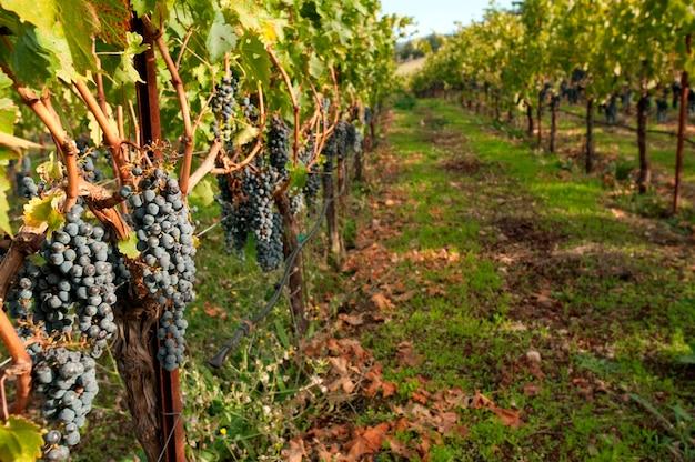 Słoneczny vinyard