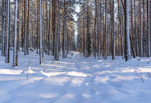 Słoneczny zimowy dzień w lesie sosnowym