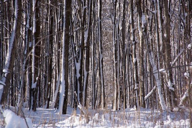 Słoneczny zimowy dzień w lesie. wzór drzewa dzikiej przyrody.