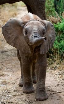 Słoniątko zbliża się do matki.
