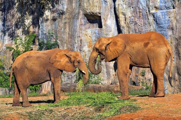 Słonie afrykańskie jedzą.
