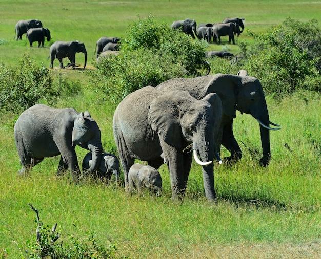 Słonie afrykańskie w ich naturalnym środowisku. kenia. afryka.